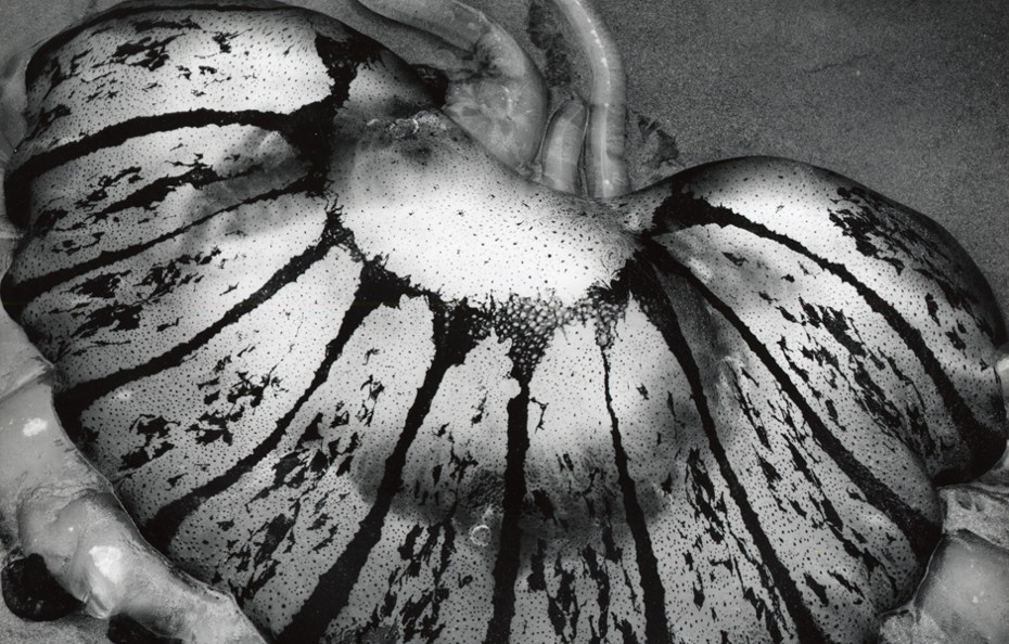 Untitled (Jellyfish, California) [detail], 1967. Silver gelatin print, 7 5/8 x 9 5/8 inches. The Brett Weston Archive, Courtesy Christian Keesee Collection, 2016